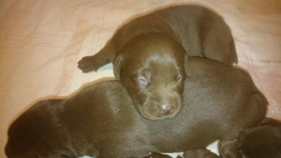 I have five SADBA registered Thoroughbred chocolate Labrador puppies for sale.