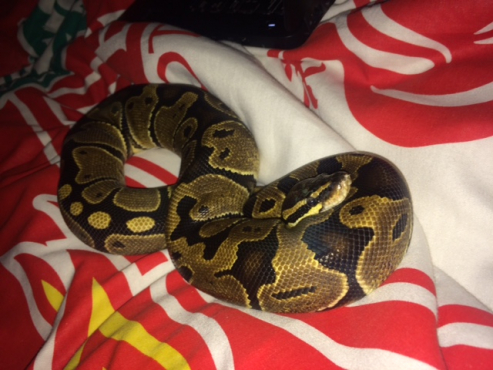 2 Ball Pythons and 2 encloures for sale