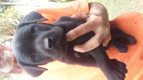 Labradore x Pointer Puppies