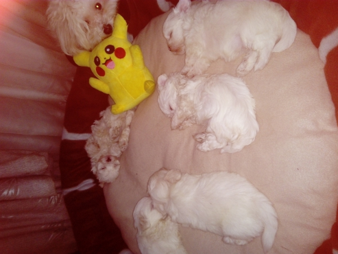 Thoroughbred Maltese Puppies