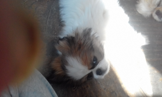 2xpekingese puppies for sale