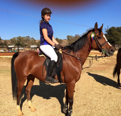 Anglo Arab gelding for sale