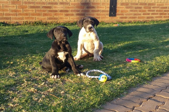 German bloodline Great Dane puppies for sale.
