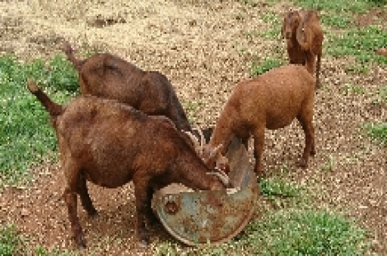 Kalahari Red Goats | Junk Mail