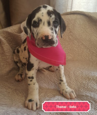 Great Dane Puppies - Top Quality Bloodlines