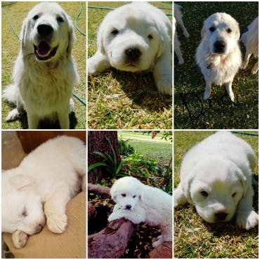 Great Pyrenees Mountain dog Puppies for sale