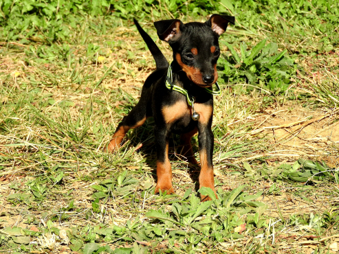 Miniature Dobermans