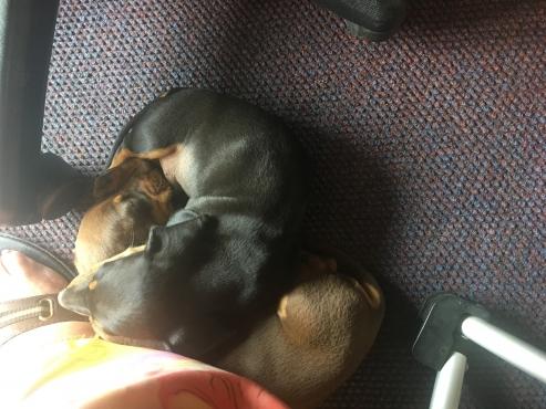 Miniture daschund puppie