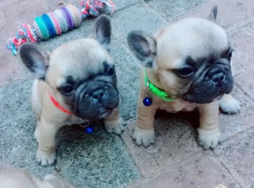 Kusa French Bulldogs Puppies