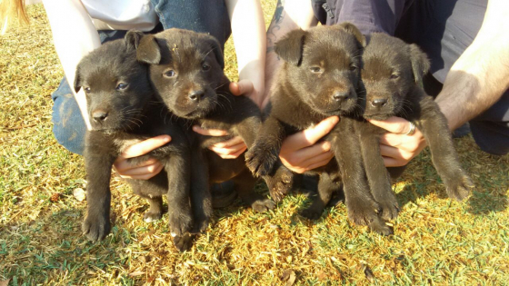 5 x Black Labrador Puppies