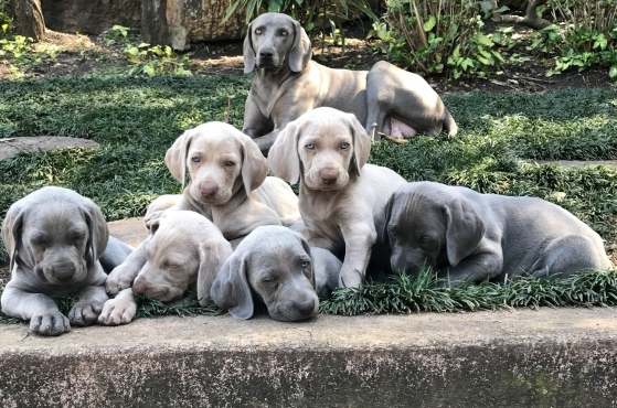 Pure bred Weimaraner puppies