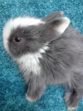 Angora dwarf baby rabbits