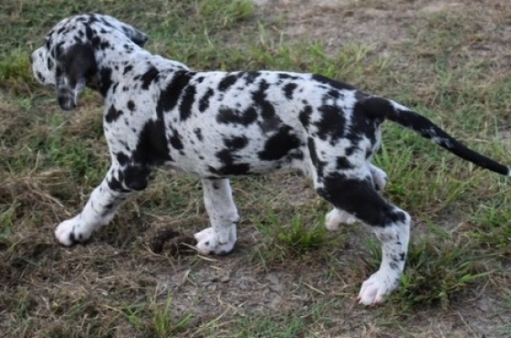 Quality Great Dane Puppies