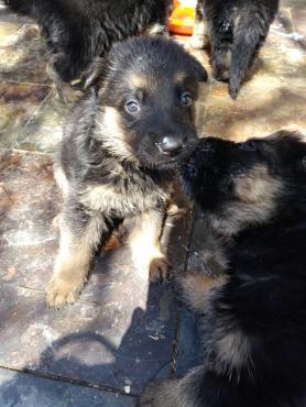 Thoroughbred German Shepard puppies