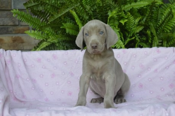 9 weeks Weimaraner Puppies