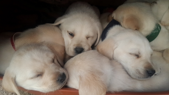 Pure bred Labrador puppies