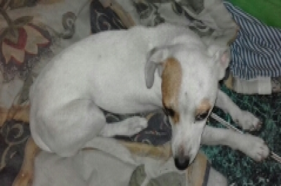 pure bred jack Russell female