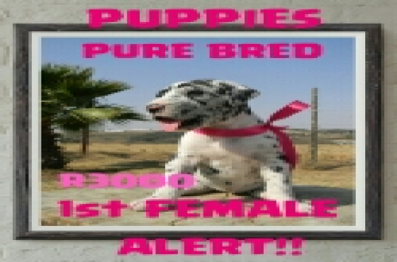 Pure Bred Great Dane puppies for sale