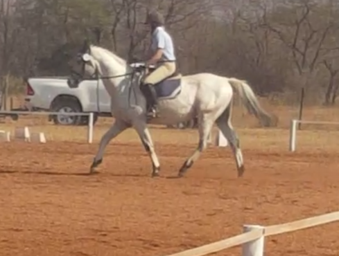 PRICE REDUCED - Urgent sale. Imported Appaloosa stallion