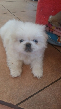 Pikengese puppys for sale