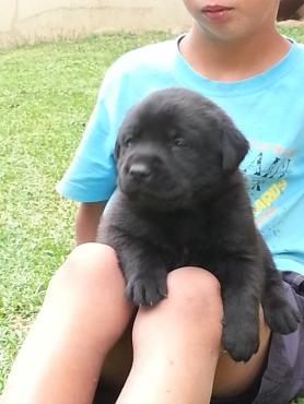 Black & Golden Labrador puppies